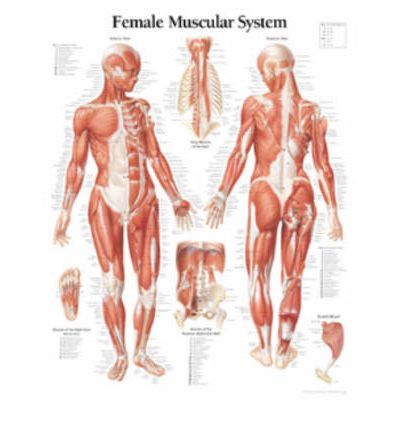 Female Muscular System: WITH Female Figure Paper Poster