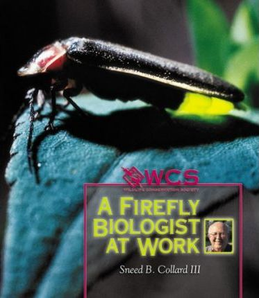 A Firefly Biologist at Work