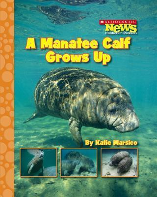 A Manatee Calf Grows Up