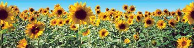 Sunflowers Jumbo Borders