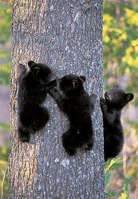 Black Bear Cubs Journal