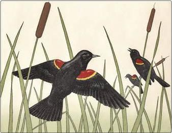 Maurice R. Bebb Red-Winged Blackbirds Small Boxed Cards 0161