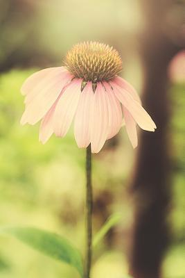 Coneflower Dreams  Journal, Notebook, or Diary - Blank Lined, 6 X 9 Inches, 150 Pages