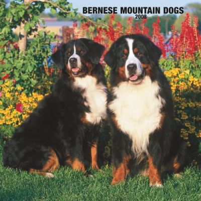 Bernese Mountain Dogs 2008 Square Wall