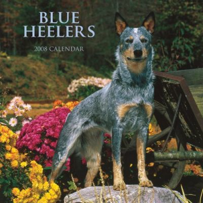 Blue Heelers 2008 Square Wall