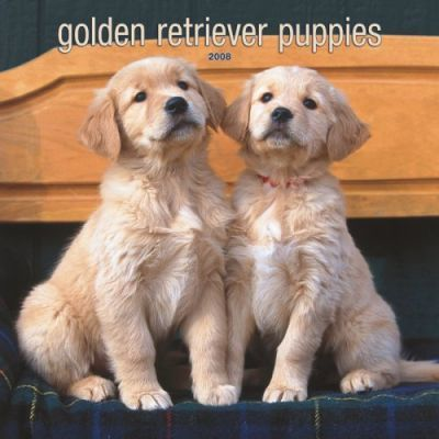 Golden Retriever Puppies 2008 Square Wall