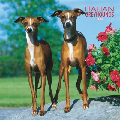 Greyhounds, Italian 2008 Square Wall