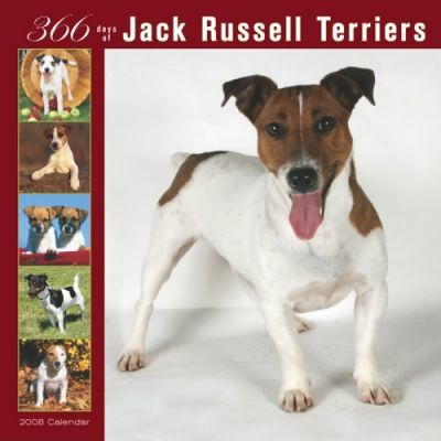 Jack Russell Terriers 366 Days 2008 Square Wall