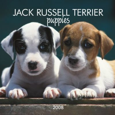 Jack Russell Terrier Puppies 2008 Mini Wall