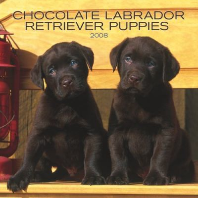 Labrador Retriever, Chocolate Puppies 2008 Mini Wall