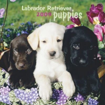 Labrador Retrievers Puppies 2009 Calendar