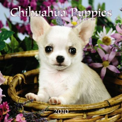 Chihuahua Puppies 2010 7x7 Mini