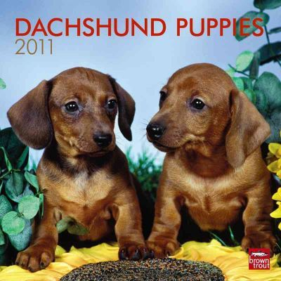 Dachshund Puppies 2011