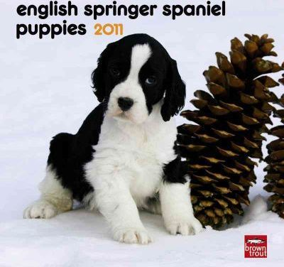 English Springer Spaniel Puppies 2011