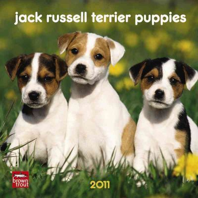 Jack Russell Terrier Puppies 2011