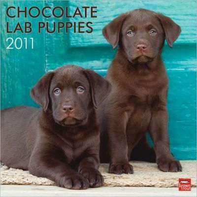 Chocolate Labrador Retriever Puppies 2011