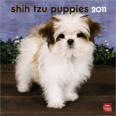Shih Tzu Puppies 2011