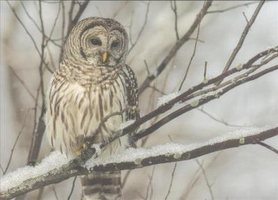 Owl on a Snowy Branch Deluxe Boxed Holiday Cards