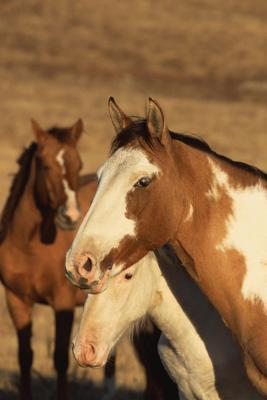 Equine Journal Pinto Herd  (notebook, Diary, Blank Book)