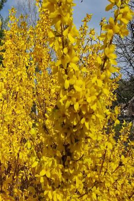 Forsythia Bush Evergreen Background Journal: (Notebook, Diary, Blank Book)