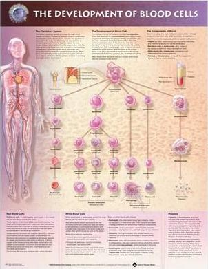 The Development of Blood Cells Anatomical Chart