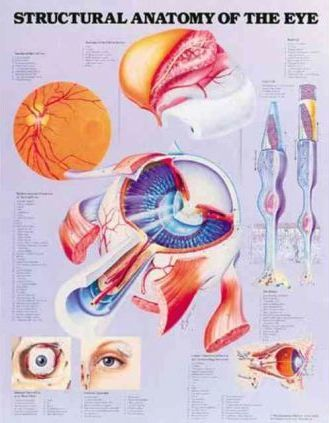 Structural Anatomy of the Eye Anatomical Chart