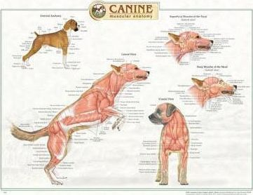 Canine Muscular Anatomy Chart