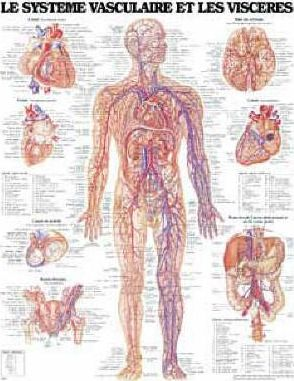 Le Systeme Cardiovasculaire