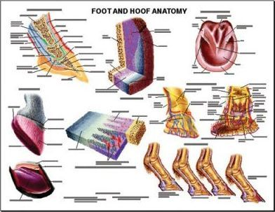 Equine Foot and Hoof Wall Chart