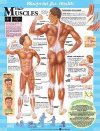 Blueprint for Health Your Muscles Chart