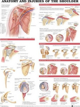 Anatomy and Injuries of the Shoulder Anatomical Chart - Anatomical Chart Company