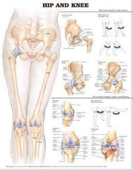 Hip and Knee Anatomical Chart Cover Image