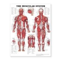 The Muscular System Giant Chart Laminated