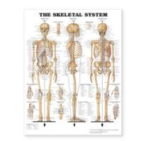 The Skeletal System Giant Chart Laminated