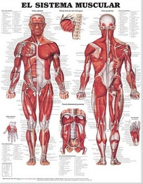 The Muscular System Anatomical Chart in Spanish (El Sistema Muscular)