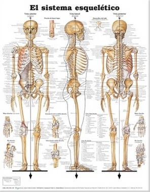 The Skeletal System Anatomical Chart in Spanish (El Sistema Esqueletico)