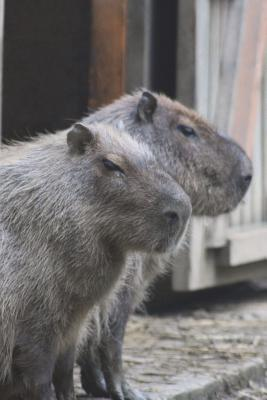 One Capybara Says to the Other, Hey, Man, You Come Here Often? Journal  150 Page Lined Notebook/Diary