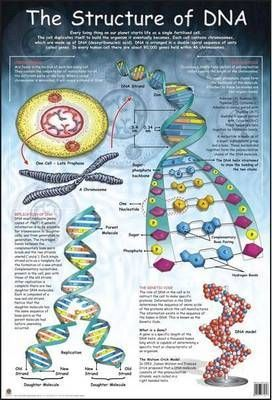 Structure of DNA: Wall Chart