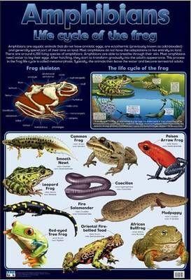 Amphibians life cycle of the frog: Wall chart