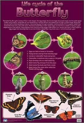 Life cycle of the butterfly: Wall chart