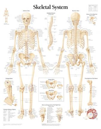 Skeletal System Paper Poster - Scientific Publishing