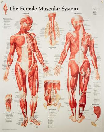 Muscular System with Female Figure Laminated Poster - Scientific Publishing