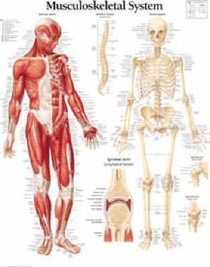 Musculoskeletal System Laminated Poster - Scientific Publishing
