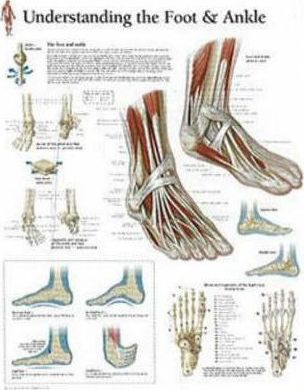 Understanding the Foot & Ankle Laminated Poster - Scientific Publishing