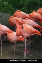 Pink Flamingos (100 Page Lined Journal)